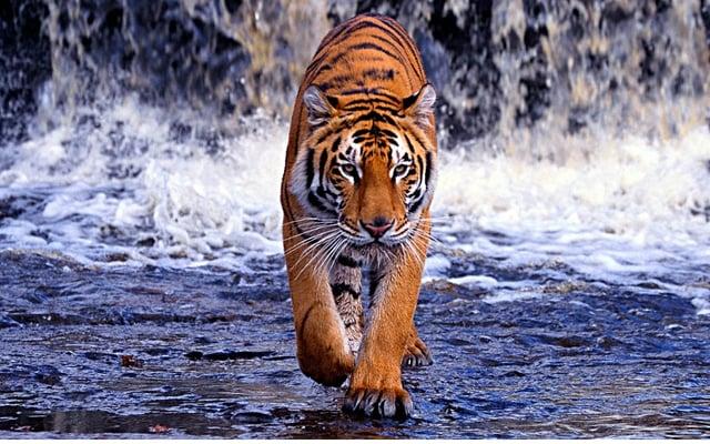 Tiger1_HPC.jpg